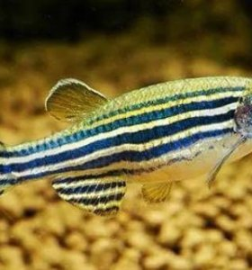 Hatching process danio rerio