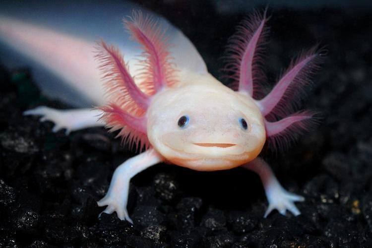 All About Axolotls Axolotl Care  Blogger