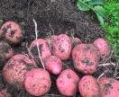 Картофель, деревенский.
