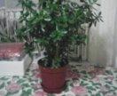 Комнатное растение ДЕНЕЖНОЕ ДЕРЕВО. Высота 70 см.