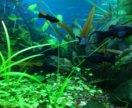 Моллинезии креветки улитки растения в аквариум