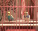 2 попугая вместе с клеткой за 2000