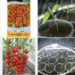 Рассада томат (помидор)Саппоро.
