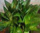 Сансевиерия (щучий хвост)