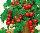 Семена комнатных помидор