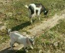 Коза с козленком (козочкой)