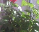 Роза махровая