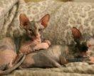 Котята канадского сфинкса (девочки)