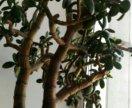 Толстянка (денежное дерево, крассула)