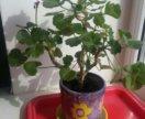 Цветок герань (пеларгония)