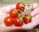 Рассада томат, помидор 3 шт. Балконное Чудо