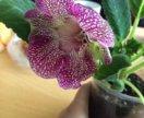 Глоксиния цветущая