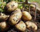 Куплю картофель для посадки