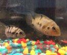 Чернополосая цихлазома рыбки 2мес