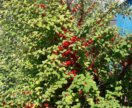 Кусты вишни