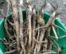 Растение, корни хрена.