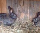 Кролики ( самки)