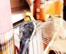 Попугай,породы корел