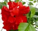 Гибискус 🌺 Китайская роза, отростки