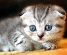 Котенок вислоухий мальчик