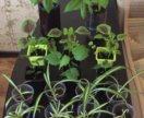 Цветы: бальзамин, колеус, абутилон, хлорофитум...