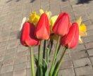 Продаю тюльпаны и нарциссы