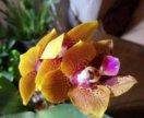 Орхидея Phal. Zheng Min Anaconda коллекционная