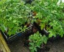 Рассада томатов и огурцов