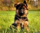 Возьму щенка немецкой овчарки в частный дом