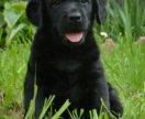 Чёрные щенки Лабрадора