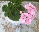 Пеларгония растишка