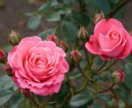Гидролат Роза