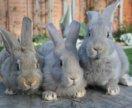 Молодые крольчата на племя только фландр