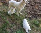 Щенки шотландской белой овчарки