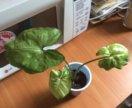 Сингониум со светлыми листьями