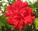 Красный махровый