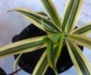 Драцены (комнатные растения)