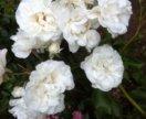 Почвопокровная роза (садовое растение)