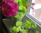 Желтолистная пеларгония Brookside rose
