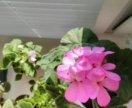 Герань розовая (зональная )