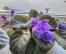 Взрослая фиалка ,обильное цветение