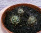 Кактус Mammillaria