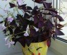 Цветок мадам Баттерфляй