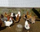 Выведу цыплят несушек под заказ