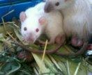 Сиамская крыска