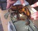 Черепахи водные