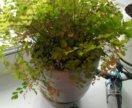 Комнатный цветок Адиантум