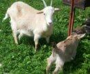 Заанейская коза и козлята