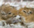 Монголочки песчанки