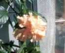 Гибискус персиковый